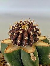 Uebelmannia buiningii ******** RARE plant 仙人掌 Kaktee 선인장 cactus ตะบองเพชร cacti