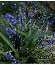 Dianella caerulea plant - Hoa Tím