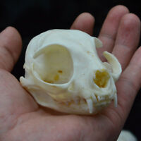 1pcs real Animal Skull specimen Collectibles