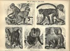 Stampa antica SCIMMIE Entello Gibbone Monkeys Affen 1890 Old antique print