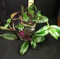 Tradescantia zebrina wandering jew plant
