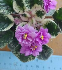 African Violet Plant - Harmony's Golden Dawn ~ variegated semi~ in bloom
