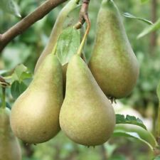 CONFERENCE PEAR, PYRUS COMMUNIS 10 SEEDS- DELICIOUS FRUITS