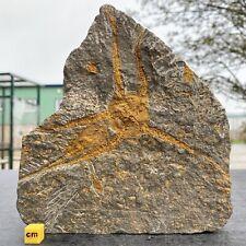 More details for brittle star ophiura fossil morocco ordovician fsr047 ✔100%genuine