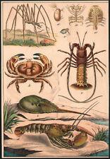 1890 Lithographie originale crustacés crabe araignée homard