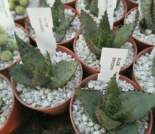 ALOE BROOMII - really ferocious plant !