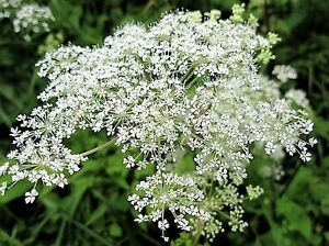 50 FEMALE GINSENG Dong Quai Chinese Angelica Sinensis Herb White Flower Seeds
