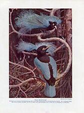 c1900 BLUE PARADISE BIRDS PAPUA NEW GUINEA Antique Litho Print W.Bolsche