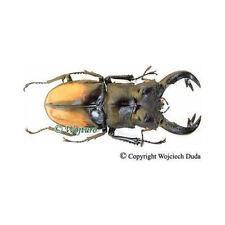 Hexarthrius parryi paradoxus  - male, nice, +75mm