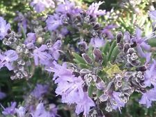 Rosemary Mozart in 50mm forestry tube perennial plant