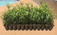 Podocarpus Macrophyllus Japanese Yew Qty 40 Live Plants Evergreen Privacy Hedge