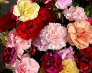 100 pcs Flower Carnation Dianthus Caryophyllus Chabaud Mixed SEEDS Double Blooms
