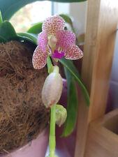 Phalaenopsis Little One (Sedirea japonica x Vandopsis parishii) orchid plant
