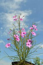 Rarität: Byblis gigantea Carnivore (Drosera, Nepenthes, Dionaea)