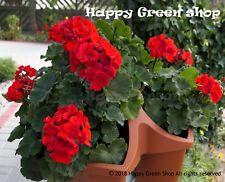 F2 GARDEN GERANIUM SCARLET RED - 10 SEEDS - Pelargonium zonale - COMPACT FLOWER