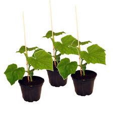 3 Pflanzen Veredelte Schlangengurke, Gurkenpflanze Veredelte Mini Mini Gurke ...