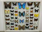 VTG Real Morpho Butterfly Taxidermy Specimen Mid Century Art Display Specimen b1