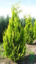 Zypresse Scheinzypresse Grün-Gelbe Farbe 120/140 cm. Anlieferung möglich.