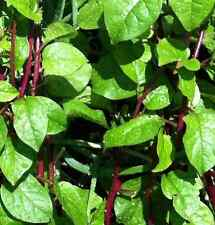 RED STEM MALABAR SPINACH 10 seeds vegetable garden
