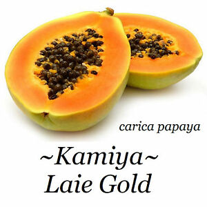 ~LAIE GOLD~ HYBRID PAPAYA Kamiya Yellow Flesh Solo X-77 UH Cultivar 60+ SEEDS