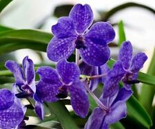 VANDA  ORCHIDEE   V.PRINCESS MIKASA BLUE   JP    J 2 - 7