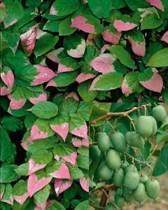 Actinidia kolomikta Samen, russische Kiwic, Amur Strahlengriffel