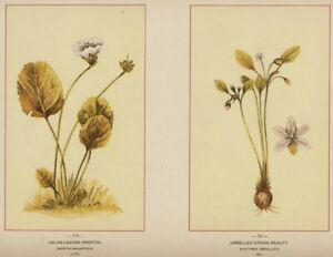 Oconee Bells & Springbeauty: 1894 Wildflower Stone Chromolithograph Botanicals