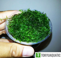 Java Moss Freshwater Live Aquarium Plants Vesicularia Dubyana Fern Shrimp Fish