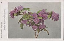POSTCARD  FLOWERS  Brunfelsia Calycina