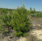 Sand pine Pinus clausa 10 seeds