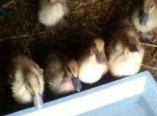 6 Khaki Campbell Duck Hatching Eggs