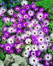 Livingstone Daisy Mix, 500 seeds (Dorotheanthus belliformis) | TSCseeds