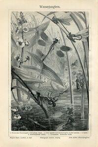 1895 DRAGONFLIES DRAGONFLY LARVAE Antique Engraving Print