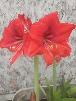 Red Orange Amaryllis Bulb (1)