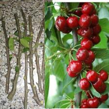 5 CUTTINGS RARE sweet cherry cova da beira Morangão De Saco Prunus avium