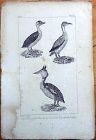 Le Castagneux, Le Plongeon, Le Grebe Cornu - 1830s French Bird Print