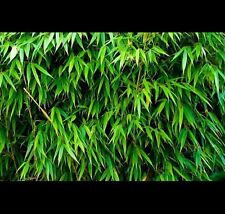 * SUPERSALE* Slender Weavers Gracilis Bamboo 1.5m tall $55