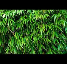 * SUPERSALE* Slender Weavers Gracilis Bamboo 1.5m tall $59