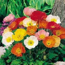 10,000 Seeds Iceland Poppy Seeds (Papaver Nudicaule) NURSERY SEEDS