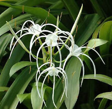 White Spider Lily bulbs X2 -hymenocallis sp.