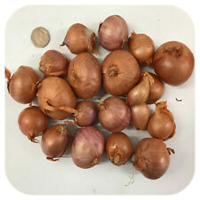Red Shallot Sets 'Red Sun' x 25 Top Quality Spring Planting 'Grow Your Own'