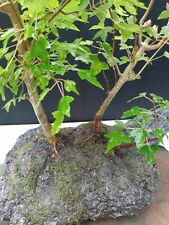 Trident Maple Ror 3 Tree Pre-Bonsai (Hand Carved Rock)