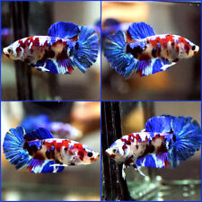 New listing Live Betta Fish Fancy Multi Color Metallic Galaxy Koi Halfmoon Plakat Male #C114