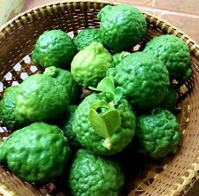 30 seed THAI KAFFIR LIME SEEDS FROM THAILAND Kaffir Lime SEEDS D717