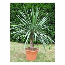 "Organic Flower seeds Dracaena ""Dragon-Tree"" (Dracaena draco). Plant indoor."