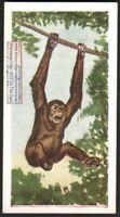 Chimpanzee Monkey Primate 60+ Y/O Ad Trade Card