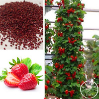 200 PCS Seeds Climbing Red Strawberry Bonsai Mount Everest Fruit Free Shipping N