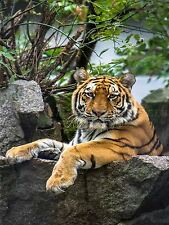 PHOTOGRAPHY ZOO BIG CAT TIGER STRIPES COOL NATURE ANIMAL POSTER PRINT BMP10200
