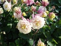 25 Columbine Seeds Aquilegia Winky Double Rose And White Seeds Perennial