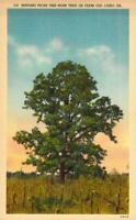 Cairo Georgia GA Seedling Pecan Tree 100 Yrs Old Linen Antique Postcard 26799